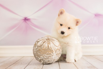 puppy72 week5 BowTiePomsky.com Bowtie Pomsky Puppy For Sale Husky Pomeranian Mini Dog Spokane WA Breeder Blue Eyes Pomskies web5