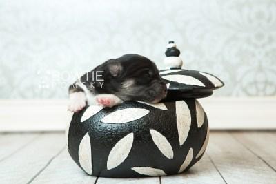 puppy73 week1 BowTiePomsky.com Bowtie Pomsky Puppy For Sale Husky Pomeranian Mini Dog Spokane WA Breeder Blue Eyes Pomskies web4