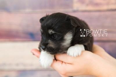 puppy73 week3 BowTiePomsky.com Bowtie Pomsky Puppy For Sale Husky Pomeranian Mini Dog Spokane WA Breeder Blue Eyes Pomskies web1