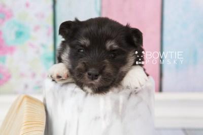puppy73 week3 BowTiePomsky.com Bowtie Pomsky Puppy For Sale Husky Pomeranian Mini Dog Spokane WA Breeder Blue Eyes Pomskies web5