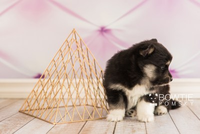 puppy73 week5 BowTiePomsky.com Bowtie Pomsky Puppy For Sale Husky Pomeranian Mini Dog Spokane WA Breeder Blue Eyes Pomskies web1