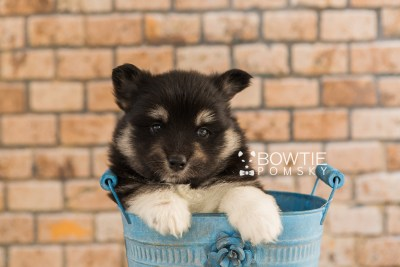 puppy73 week5 BowTiePomsky.com Bowtie Pomsky Puppy For Sale Husky Pomeranian Mini Dog Spokane WA Breeder Blue Eyes Pomskies web3
