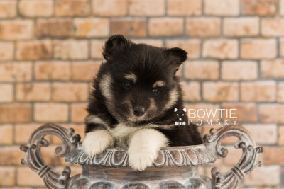 puppy73 week5 BowTiePomsky.com Bowtie Pomsky Puppy For Sale Husky Pomeranian Mini Dog Spokane WA Breeder Blue Eyes Pomskies web4