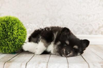 puppy73 week7 BowTiePomsky.com Bowtie Pomsky Puppy For Sale Husky Pomeranian Mini Dog Spokane WA Breeder Blue Eyes Pomskies web1