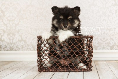 puppy73 week7 BowTiePomsky.com Bowtie Pomsky Puppy For Sale Husky Pomeranian Mini Dog Spokane WA Breeder Blue Eyes Pomskies web2