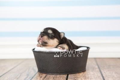 puppy74 week1 BowTiePomsky.com Bowtie Pomsky Puppy For Sale Husky Pomeranian Mini Dog Spokane WA Breeder Blue Eyes Pomskies web3