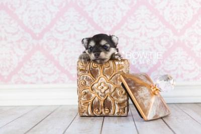 puppy74 week3 BowTiePomsky.com Bowtie Pomsky Puppy For Sale Husky Pomeranian Mini Dog Spokane WA Breeder Blue Eyes Pomskies web2