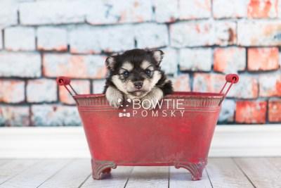 puppy74 week3 BowTiePomsky.com Bowtie Pomsky Puppy For Sale Husky Pomeranian Mini Dog Spokane WA Breeder Blue Eyes Pomskies web4