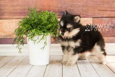 puppy74 week5 BowTiePomsky.com Bowtie Pomsky Puppy For Sale Husky Pomeranian Mini Dog Spokane WA Breeder Blue Eyes Pomskies web3