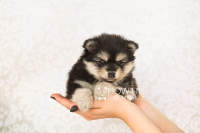 puppy74 week5 BowTiePomsky.com Bowtie Pomsky Puppy For Sale Husky Pomeranian Mini Dog Spokane WA Breeder Blue Eyes Pomskies web4