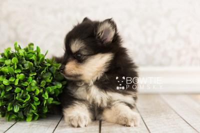 puppy74 week5 BowTiePomsky.com Bowtie Pomsky Puppy For Sale Husky Pomeranian Mini Dog Spokane WA Breeder Blue Eyes Pomskies web6