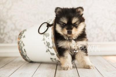 puppy74 week5 BowTiePomsky.com Bowtie Pomsky Puppy For Sale Husky Pomeranian Mini Dog Spokane WA Breeder Blue Eyes Pomskies web7