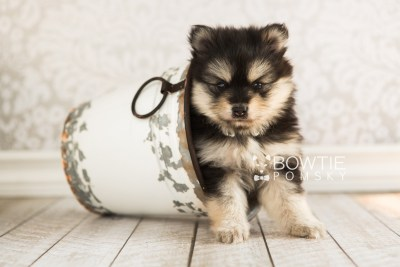 puppy74 week5 BowTiePomsky.com Bowtie Pomsky Puppy For Sale Husky Pomeranian Mini Dog Spokane WA Breeder Blue Eyes Pomskies web7