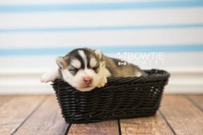 puppy75 week1 BowTiePomsky.com Bowtie Pomsky Puppy For Sale Husky Pomeranian Mini Dog Spokane WA Breeder Blue Eyes Pomskies Celebrity Puppy web1