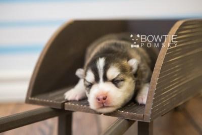 puppy75 week1 BowTiePomsky.com Bowtie Pomsky Puppy For Sale Husky Pomeranian Mini Dog Spokane WA Breeder Blue Eyes Pomskies Celebrity Puppy web2