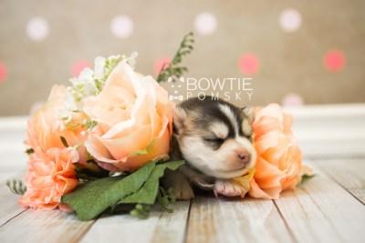 puppy75 week1 BowTiePomsky.com Bowtie Pomsky Puppy For Sale Husky Pomeranian Mini Dog Spokane WA Breeder Blue Eyes Pomskies Celebrity Puppy web4