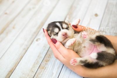 puppy75 week1 BowTiePomsky.com Bowtie Pomsky Puppy For Sale Husky Pomeranian Mini Dog Spokane WA Breeder Blue Eyes Pomskies Celebrity Puppy web7