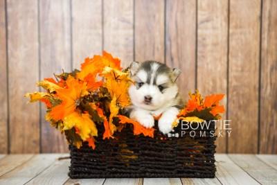 puppy75 week3 BowTiePomsky.com Bowtie Pomsky Puppy For Sale Husky Pomeranian Mini Dog Spokane WA Breeder Blue Eyes Pomskies Celebrity Puppy web1