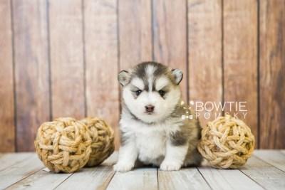 puppy75 week3 BowTiePomsky.com Bowtie Pomsky Puppy For Sale Husky Pomeranian Mini Dog Spokane WA Breeder Blue Eyes Pomskies Celebrity Puppy web5