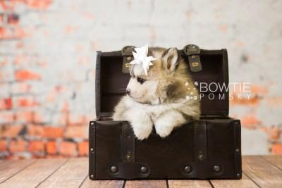 puppy75 week5 BowTiePomsky.com Bowtie Pomsky Puppy For Sale Husky Pomeranian Mini Dog Spokane WA Breeder Blue Eyes Pomskies Celebrity Puppy web5
