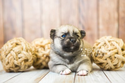 puppy76 week3 BowTiePomsky.com Bowtie Pomsky Puppy For Sale Husky Pomeranian Mini Dog Spokane WA Breeder Blue Eyes Pomskies Celebrity Puppy web3
