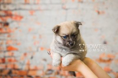 puppy76 week5 BowTiePomsky.com Bowtie Pomsky Puppy For Sale Husky Pomeranian Mini Dog Spokane WA Breeder Blue Eyes Pomskies Celebrity Puppy web2