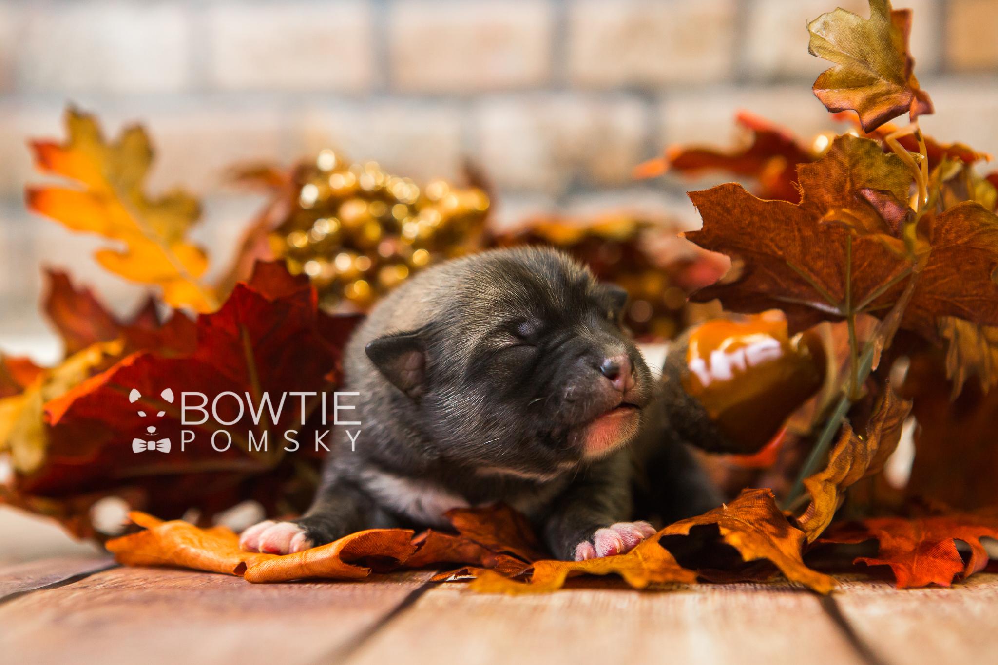 1st Gen Puppy – Boy – Riley - Bowtie Pomsky LLC