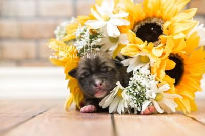 puppy77 week1 BowTiePomsky.com Bowtie Pomsky Puppy For Sale Husky Pomeranian Mini Dog Spokane WA Breeder Blue Eyes Pomskies Celebrity Puppy web3