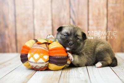 puppy77 week3 BowTiePomsky.com Bowtie Pomsky Puppy For Sale Husky Pomeranian Mini Dog Spokane WA Breeder Blue Eyes Pomskies Celebrity Puppy web3