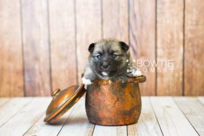 puppy77 week3 BowTiePomsky.com Bowtie Pomsky Puppy For Sale Husky Pomeranian Mini Dog Spokane WA Breeder Blue Eyes Pomskies Celebrity Puppy web4