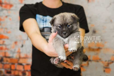 puppy77 week5 BowTiePomsky.com Bowtie Pomsky Puppy For Sale Husky Pomeranian Mini Dog Spokane WA Breeder Blue Eyes Pomskies Celebrity Puppy web5