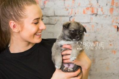 puppy77 week5 BowTiePomsky.com Bowtie Pomsky Puppy For Sale Husky Pomeranian Mini Dog Spokane WA Breeder Blue Eyes Pomskies Celebrity Puppy web6