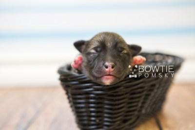 puppy78 week1 BowTiePomsky.com Bowtie Pomsky Puppy For Sale Husky Pomeranian Mini Dog Spokane WA Breeder Blue Eyes Pomskies Celebrity Puppy web3