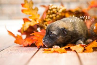 puppy78 week1 BowTiePomsky.com Bowtie Pomsky Puppy For Sale Husky Pomeranian Mini Dog Spokane WA Breeder Blue Eyes Pomskies Celebrity Puppy web4