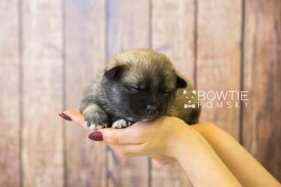 puppy78 week3 BowTiePomsky.com Bowtie Pomsky Puppy For Sale Husky Pomeranian Mini Dog Spokane WA Breeder Blue Eyes Pomskies Celebrity Puppy web1