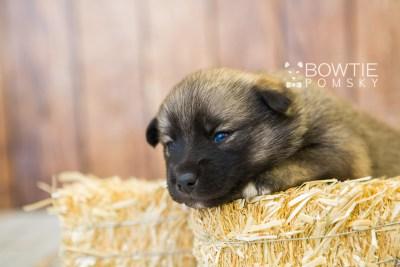puppy78 week3 BowTiePomsky.com Bowtie Pomsky Puppy For Sale Husky Pomeranian Mini Dog Spokane WA Breeder Blue Eyes Pomskies Celebrity Puppy web6
