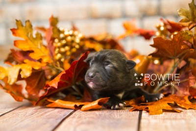 puppy79 week1 BowTiePomsky.com Bowtie Pomsky Puppy For Sale Husky Pomeranian Mini Dog Spokane WA Breeder Blue Eyes Pomskies Celebrity Puppy web3