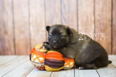 puppy79 week3 BowTiePomsky.com Bowtie Pomsky Puppy For Sale Husky Pomeranian Mini Dog Spokane WA Breeder Blue Eyes Pomskies Celebrity Puppy web3
