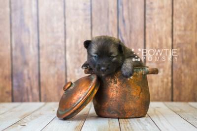 puppy79 week3 BowTiePomsky.com Bowtie Pomsky Puppy For Sale Husky Pomeranian Mini Dog Spokane WA Breeder Blue Eyes Pomskies Celebrity Puppy web5