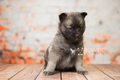 puppy79 week5 BowTiePomsky.com Bowtie Pomsky Puppy For Sale Husky Pomeranian Mini Dog Spokane WA Breeder Blue Eyes Pomskies Celebrity Puppy web2