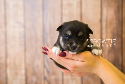 puppy80 week3 BowTiePomsky.com Bowtie Pomsky Puppy For Sale Husky Pomeranian Mini Dog Spokane WA Breeder Blue Eyes Pomskies Celebrity Puppy web1