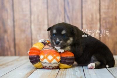 puppy80 week3 BowTiePomsky.com Bowtie Pomsky Puppy For Sale Husky Pomeranian Mini Dog Spokane WA Breeder Blue Eyes Pomskies Celebrity Puppy web4