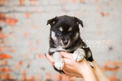 puppy80 week5 BowTiePomsky.com Bowtie Pomsky Puppy For Sale Husky Pomeranian Mini Dog Spokane WA Breeder Blue Eyes Pomskies Celebrity Puppy web3