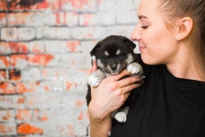 puppy80 week5 BowTiePomsky.com Bowtie Pomsky Puppy For Sale Husky Pomeranian Mini Dog Spokane WA Breeder Blue Eyes Pomskies Celebrity Puppy web4
