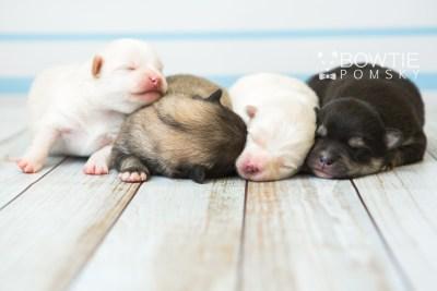 puppy81-84 week1 BowTiePomsky.com Bowtie Pomsky Puppy For Sale Husky Pomeranian Mini Dog Spokane WA Breeder Blue Eyes Pomskies Celebrity Puppy web2