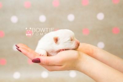 puppy81 week1 BowTiePomsky.com Bowtie Pomsky Puppy For Sale Husky Pomeranian Mini Dog Spokane WA Breeder Blue Eyes Pomskies Celebrity Puppy web3