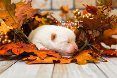 puppy81 week1 BowTiePomsky.com Bowtie Pomsky Puppy For Sale Husky Pomeranian Mini Dog Spokane WA Breeder Blue Eyes Pomskies Celebrity Puppy web4