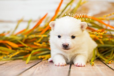 puppy81 week3 BowTiePomsky.com Bowtie Pomsky Puppy For Sale Husky Pomeranian Mini Dog Spokane WA Breeder Blue Eyes Pomskies Celebrity Puppy web2