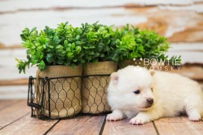 puppy81 week3 BowTiePomsky.com Bowtie Pomsky Puppy For Sale Husky Pomeranian Mini Dog Spokane WA Breeder Blue Eyes Pomskies Celebrity Puppy web4