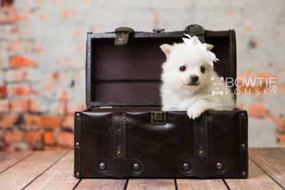puppy81 week5 BowTiePomsky.com Bowtie Pomsky Puppy For Sale Husky Pomeranian Mini Dog Spokane WA Breeder Blue Eyes Pomskies Celebrity Puppy web2